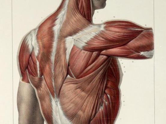 【解剖学講座Vol.5】平行筋と羽状筋 筋肉の形状を覚えてトレーニングに活かしましょう。